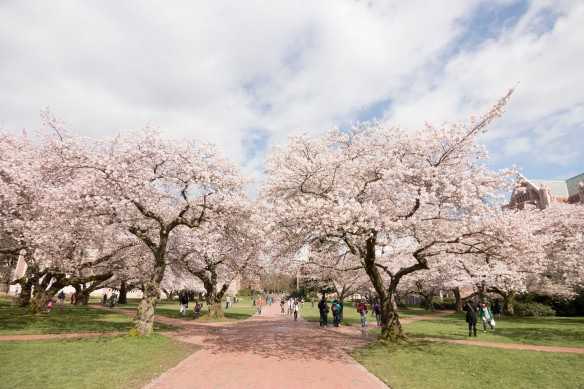 Cherry blossoms on the UW Quad. Katherine B. Turner/ UW